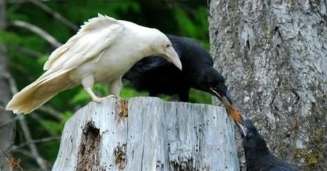 cuervo 2