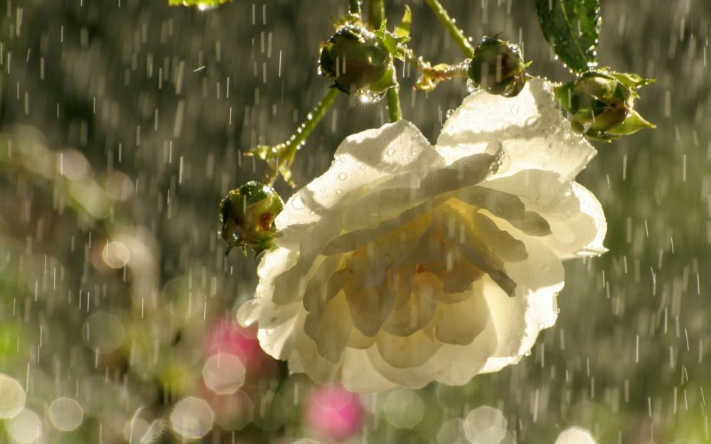rosa-blanca-bajo-la-lluvia