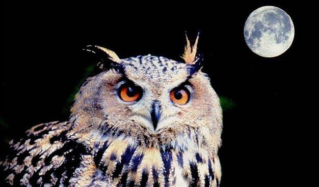 torneo de canto buho luna